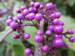 Purple Berries by SparrowHawk135