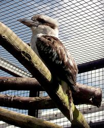 Kookaburra Stock by DemoncherryStock