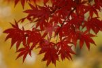 November red maple leaves pic1 by PaulRokicki