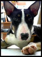 Trudy the Bull Terrier Mix by no-reaction