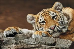 Amur Tiger Twin Crop by papatheo