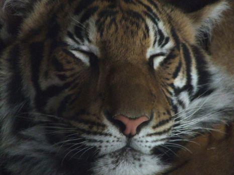 Tiger Face Huge by dtf-stock