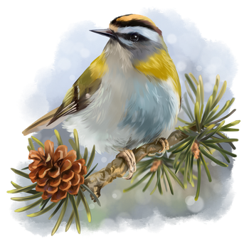 Goldcrest sitting on a spruce branch by Kajenna