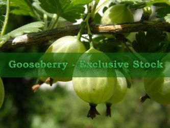 ExclStock Gooseberry by Gwathiell