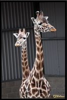 Giraffe Mother and Child by Xeno834