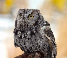 Eastern Screech Owl by cindy1701d