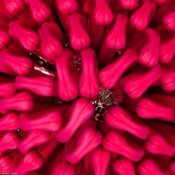 Waratah Heart by the-least
