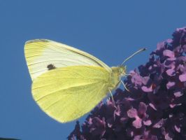 Cabbage White by Sia-the-Mawile