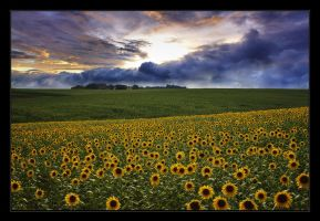 Sunflowers and clouds by Hartmut-Lerch
