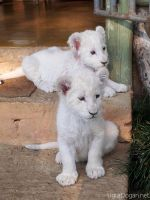 White Lions (Orjinal) by Mottcalem