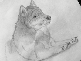 Unfinished wolf drawing (old) by Wild-As-Wolves