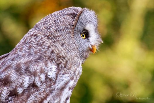 Great Grey Owl by OliverBPhotography