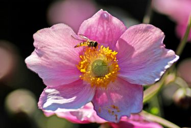 Hover fly - in pink flower by rontz
