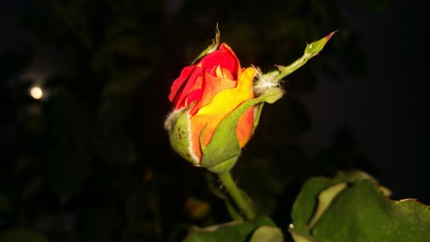 A single rose by weeze999