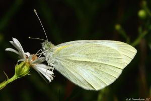 Cabbage White Butterfly by natureguy
