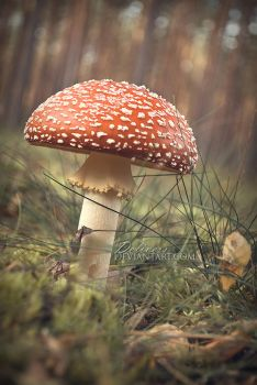 toadstool by delivess
