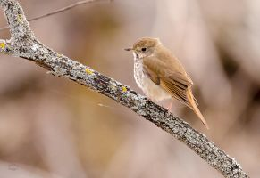 Hermit Thrush by JestePhotography