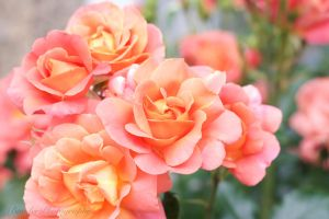 Summer Roses by tlbauder1987