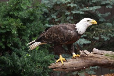 Bald Eagle 5 by EdgedFeather