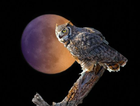 Great Horned Owl and Blood Moon by PhotosbyRaVen