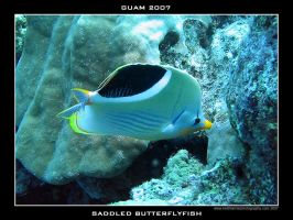 Guam 12 - Saddled Butterfly by Keith-Killer