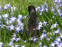 Starling in Siberian squills by AnnaIceflames