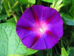 Morning Glory 1 by 12of8