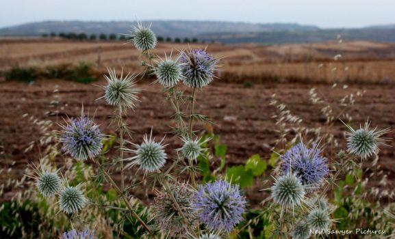Thistles at dusk.... by Poolbandit