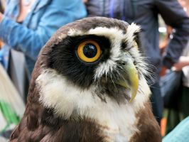 Spectacled Owl by Forumsdackel