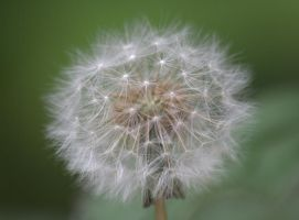 dandylion by czakalwe