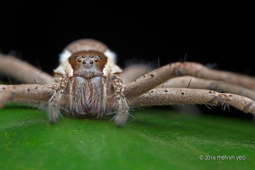 Fishing Spider (Nilus sp.) by melvynyeo