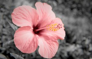 'Antique Hibiscus' by Exception-Ali-ty