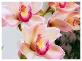 Cymbidium I by Frostola
