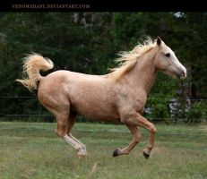 dappled palomino 1 by venomxbaby