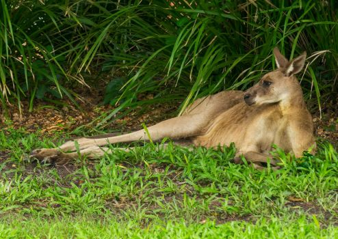 Eastern Grey Kangaroo Relaxing in the Shade by Cairn73