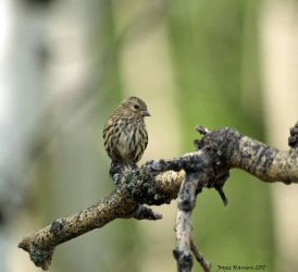 PINE SISKIN 2 by Kittihawk11