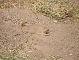 Prairie Dog One by itsayskeds