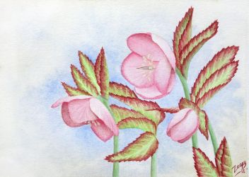 Christmas rose - Helleborus by l-Zoopy-l
