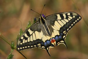 Old World Swallowtail by AnjaSchlegelmilch