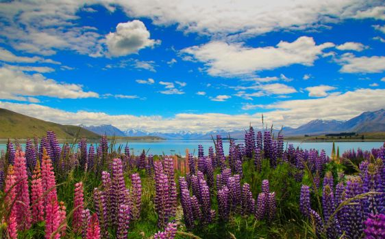 Lake Tekapo Flowers by Bobby01