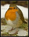 Erithacus rubecula in the snow by q-118