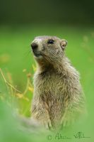 Little marmot by Fresnay