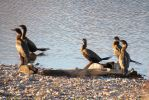 Double-crested Cormorant by LandscapesNSuchPhoto