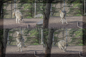 Jumping Wolf Sequence Stock Pack 1 by CastleGraphics