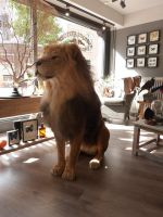 Our mounted lion, official taxidermist by Museumwinkel