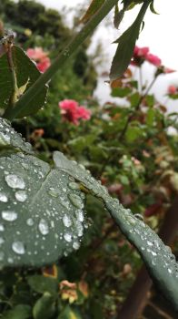Rose Leaf Droplets 5 by Torrentially