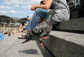 jumping pigeon by xwannabex