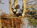 Eagles Together In Nest by wolfwings1