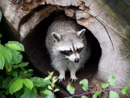 Racoon 1 by Matania