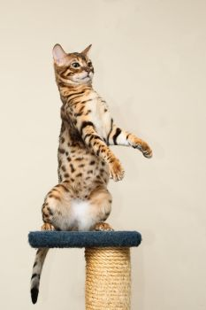Upright Bengal Kitten Stock 1 by FurLined